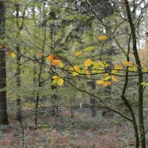 buchenmischwald im november