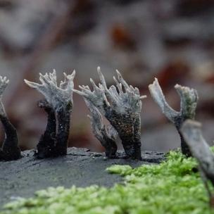 geweihförmige holzkeule - xylaria hypoxylon
